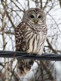 2014-12_Barred Owl_01